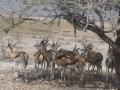 etosha impala